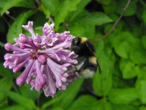 Trzmiel ziemny zapyla kwiat bzu. Park Karlikowski; czerwiec 2012 r.