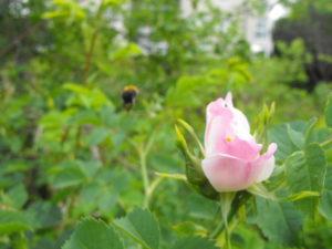 Trzmiel rudy odlatuje z kwiatu róży. Park Karlikowski czerwiec 2012 r.